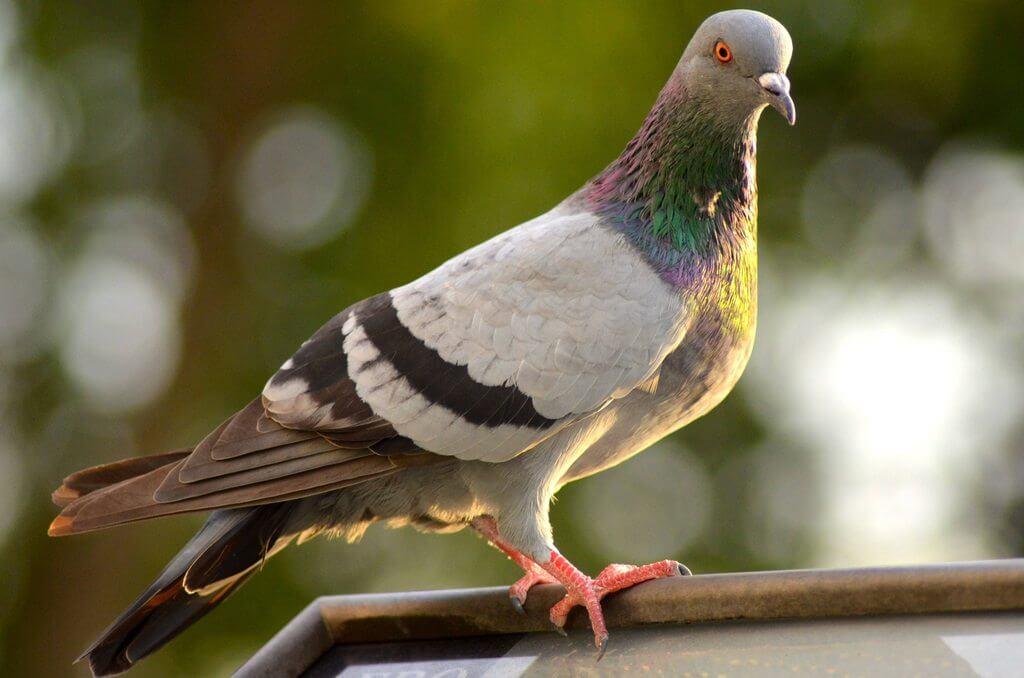 Интересные факты о птице Горлица