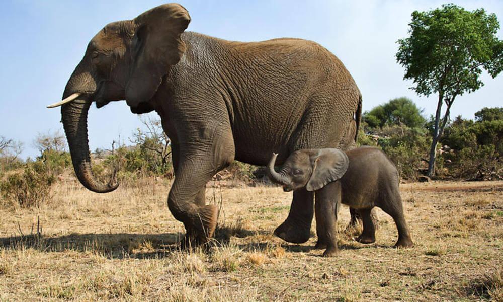 5 примеров заботы о потомстве у млекопитающих