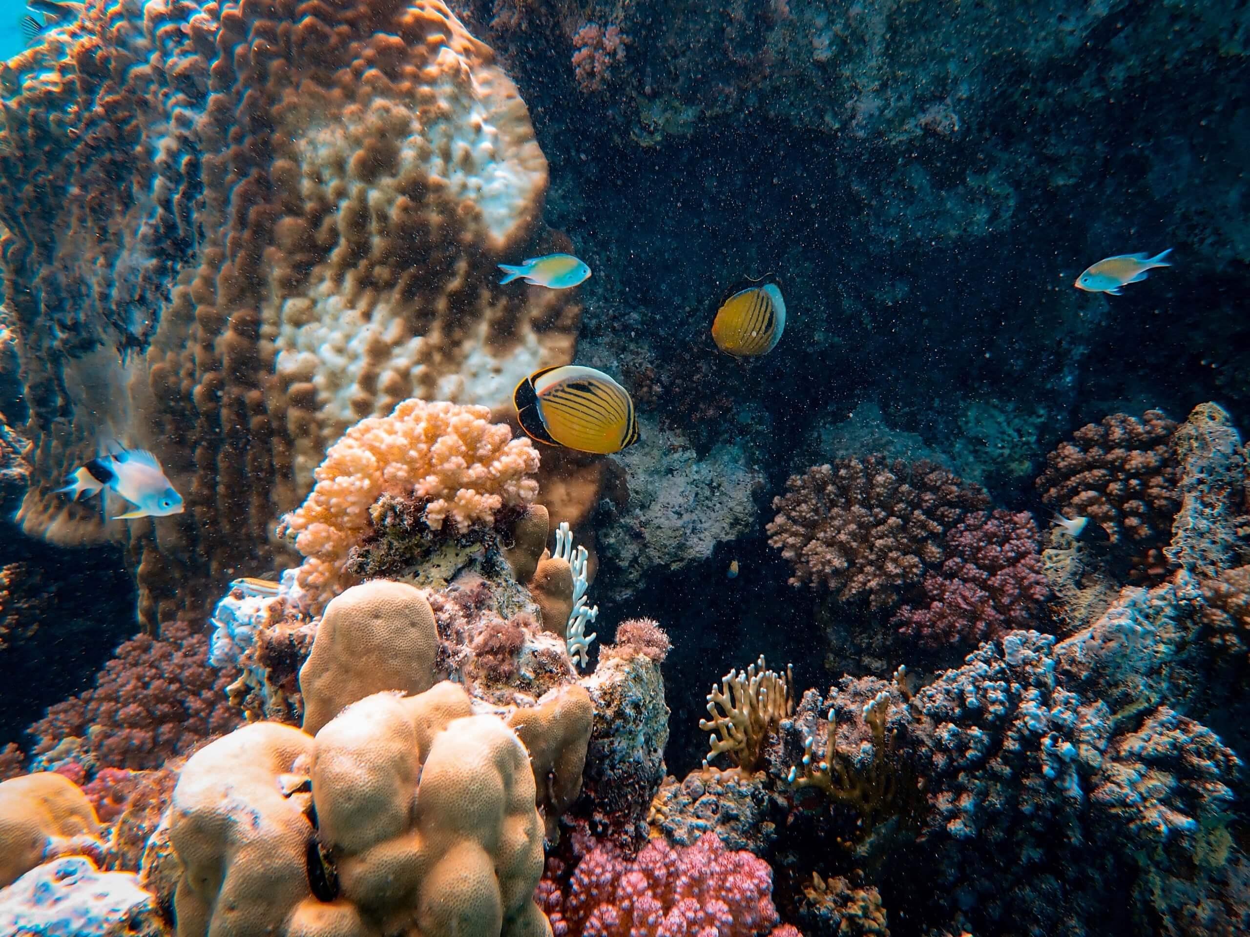 Різноманітність коралів у Великому Бар'єрному рифі