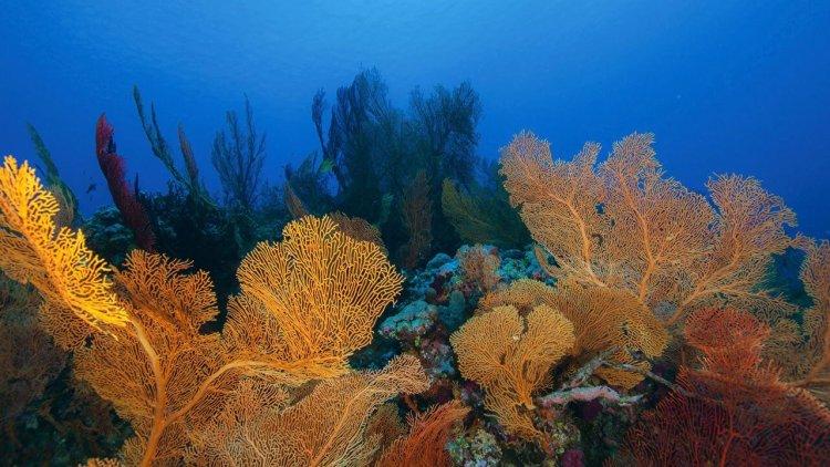 Разнообразие кораллов в Большом Барьерном рифе