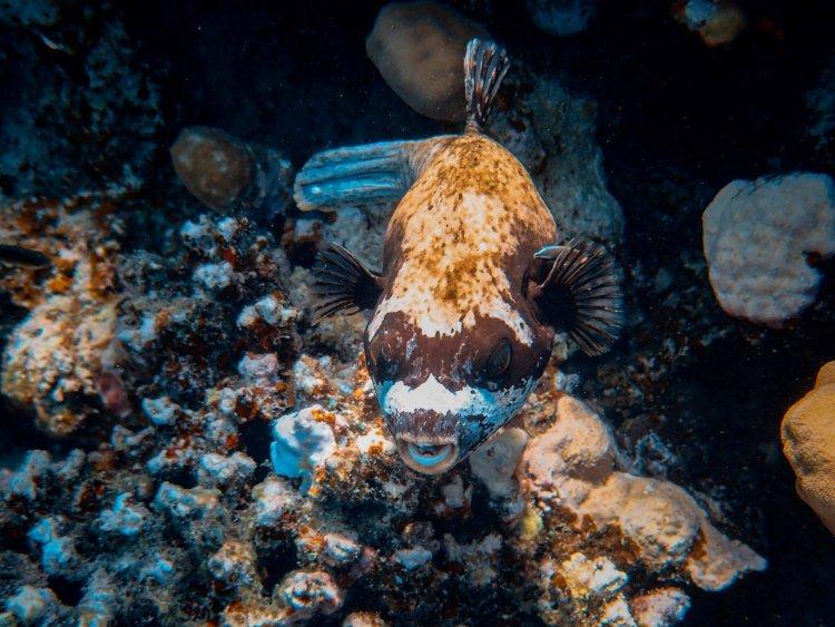 Риба фугу